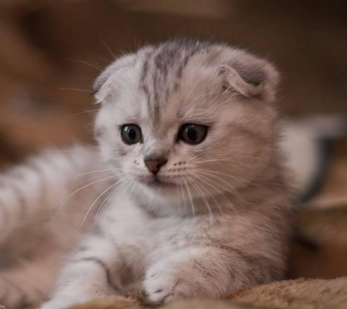 Клички для шотландских вислоухих котов и кошек