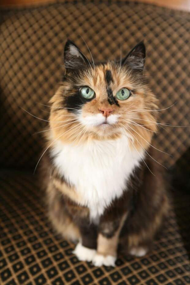 Бывают ли коты трехцветными, или трехшерстными рождаются только кошки?