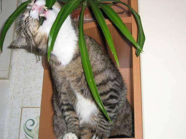 Почему кот ест комнатные цветы: причины, опасность и решение