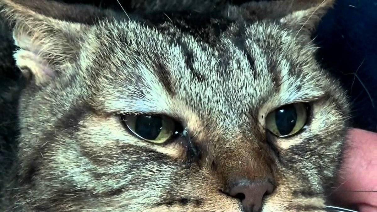 Болезни глаз у кошек и котов: воспаления, нагноения и другие проблемы, что делать, если у кошки что-то с глазом
