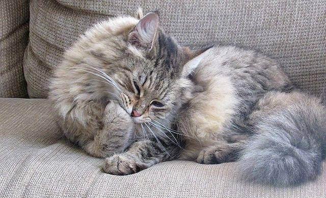 Рвота у кошек и котов