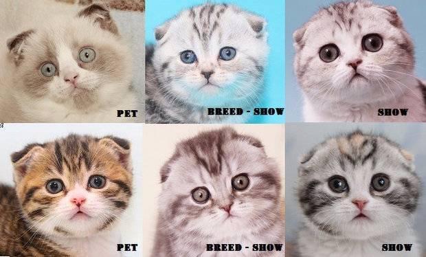 Шотландская вислоухая кошка: правила содержания, уход и кормление в домашних условиях