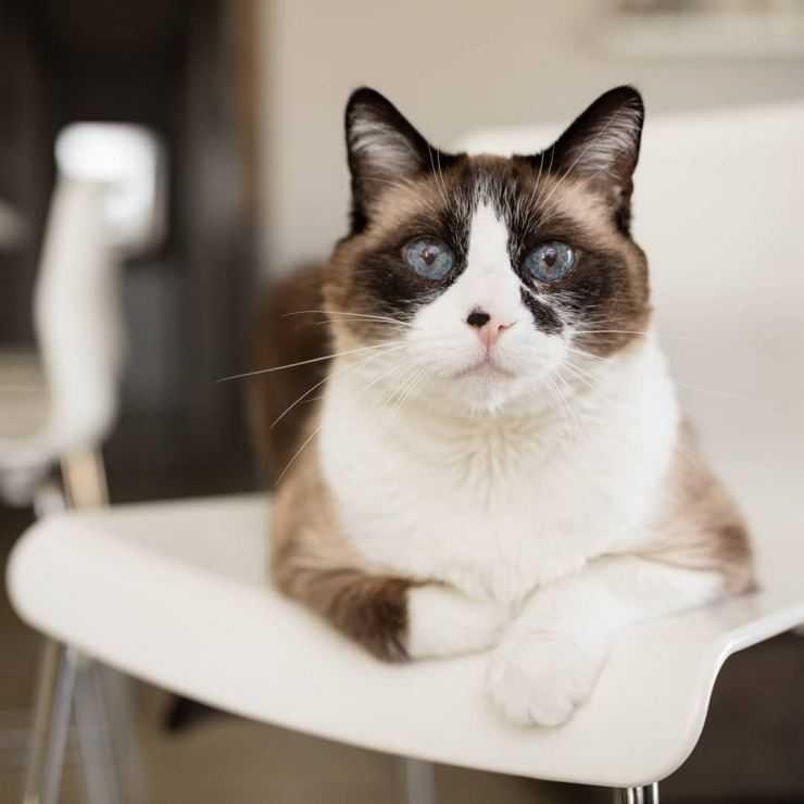 Сноу-шу кошка: описание, характер, фото, цена, содержание