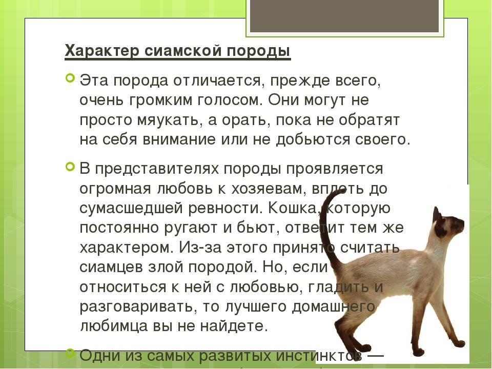 Фото и описание экстерьера и характера кошки чаузи по стандарту породы, питомники породистых котят