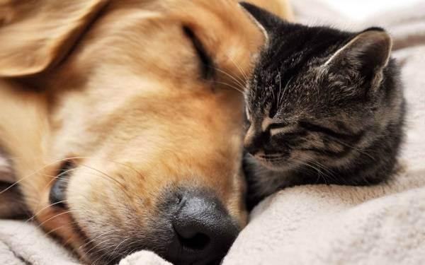 7 пород собак, которые легко могут подружиться с кошкой