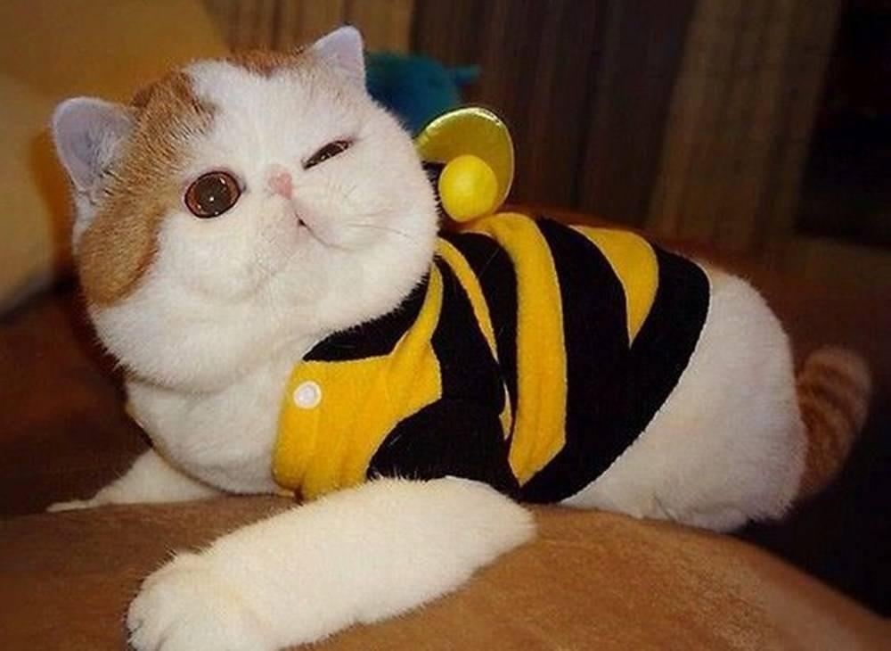 Порода кошек Снупи