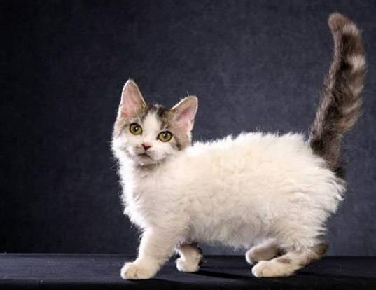 Рейтинг самых маленьких пород карликовых кошек: эксклюзивные мини-питомцы для настоящих эстетов