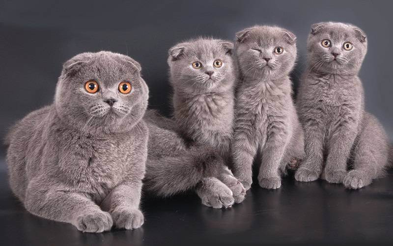 Шотландская вислоухая кошка - описание, характер и уход за породой