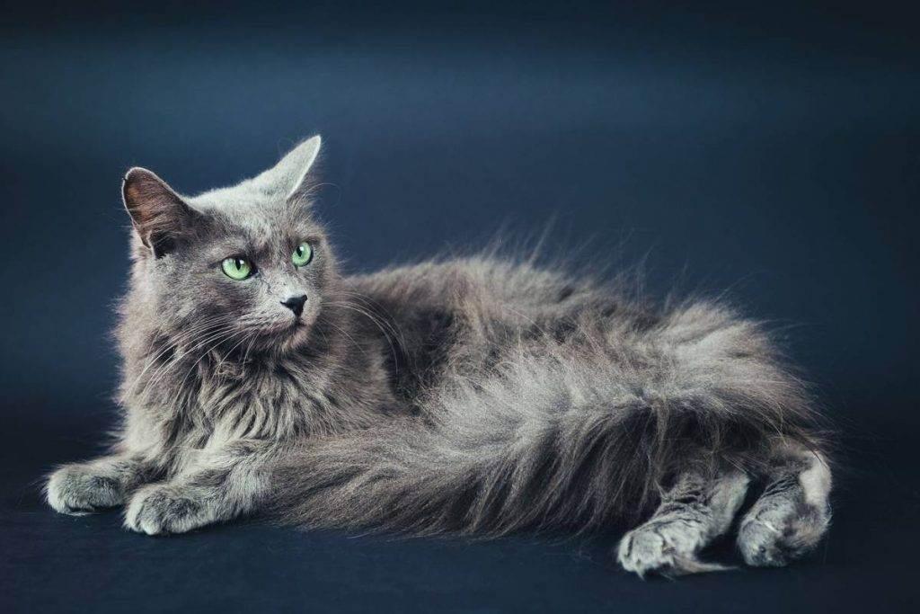 Русская голубая кошка: ввнешний вид и характер, уход и питание, болезни, фото