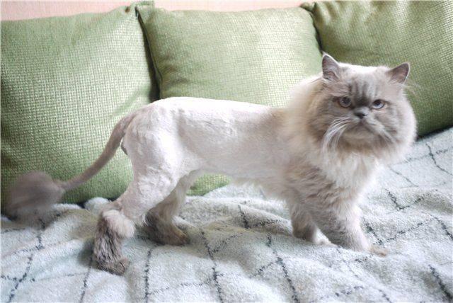 Зачем стригут котов: кошачьи стрижки, прически, стрижка кота под льва и способы делать стрижку кошке