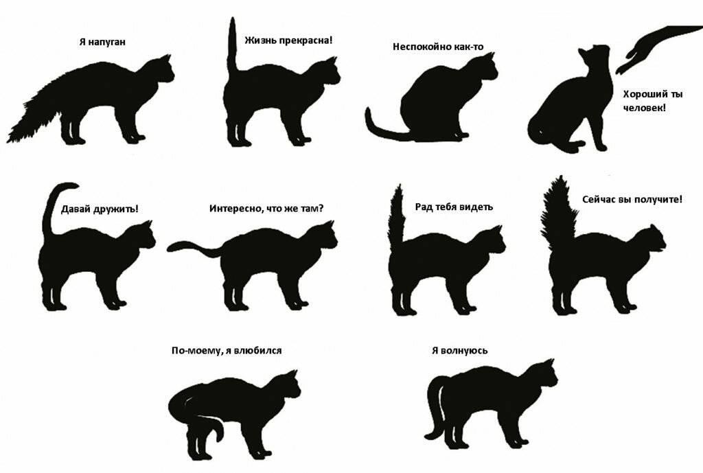 Кошка трясет хвостом: что это значит? - zhivomag