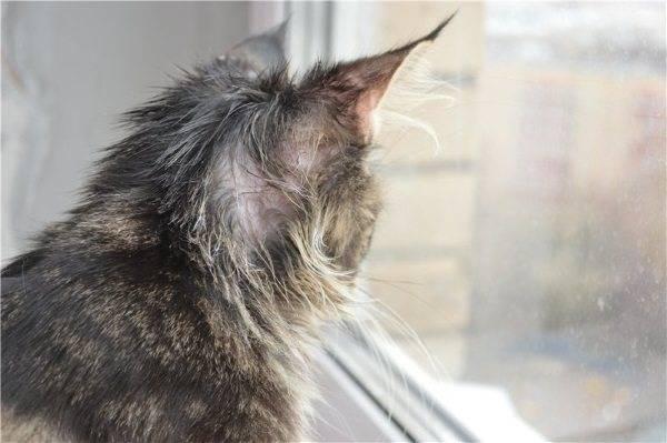 Залысины у кошки возле ушей