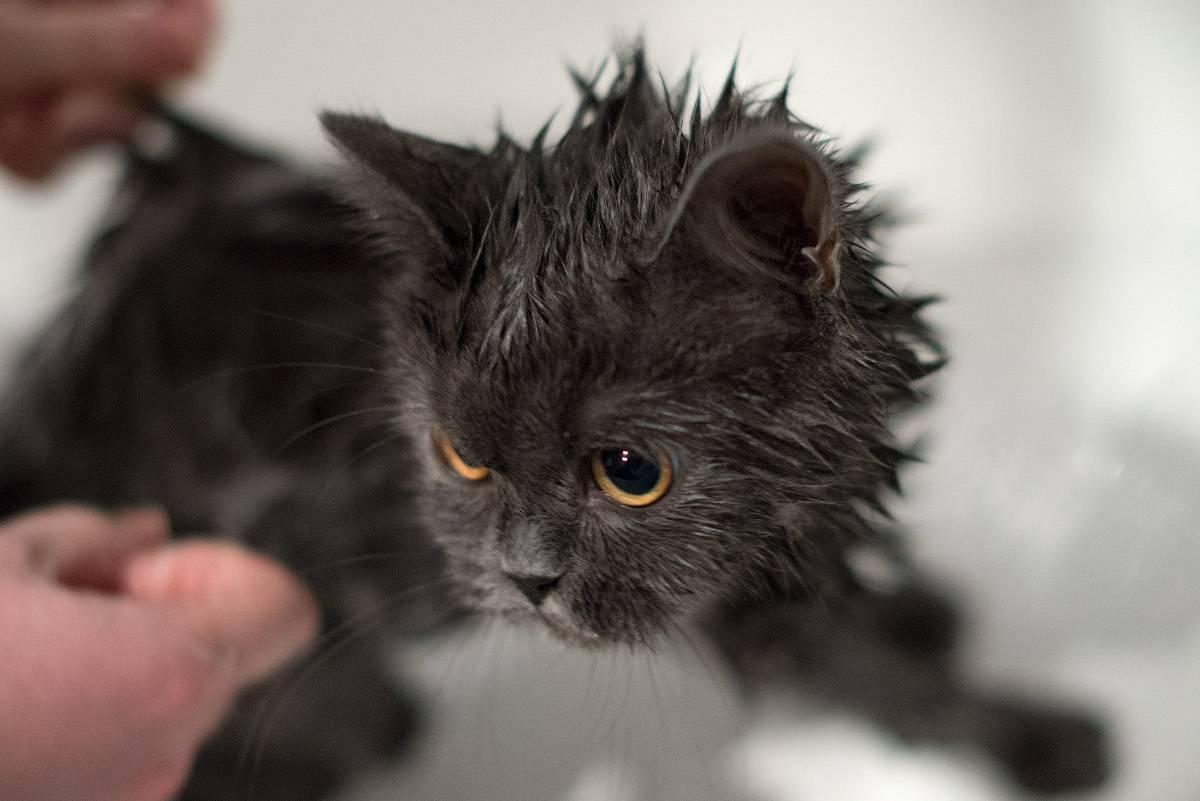 Причины появления перхоти у кота на спине