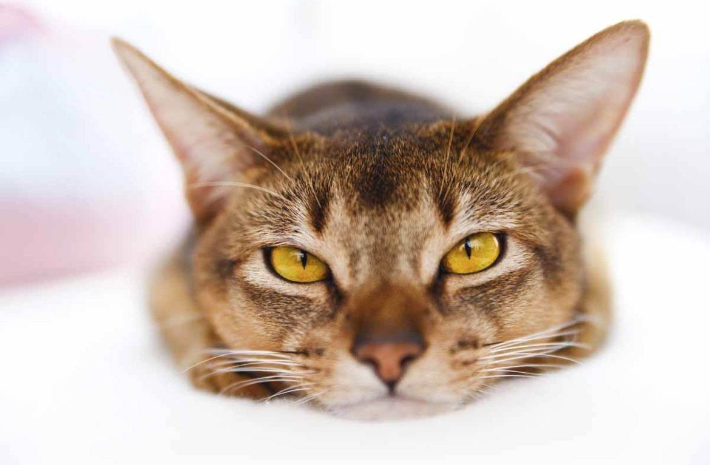 Стресс у кошки: почему возникает, симптомы, методы лечения