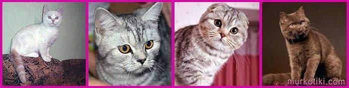 Уход за шотландскими вислоухими котятами – советы и рекомендации