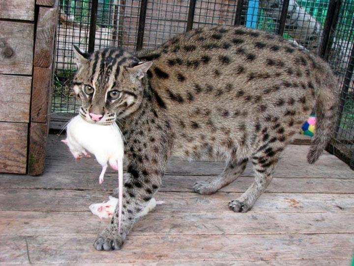 Самое подробное описание породы водяных виверровых кошек рыболовов
