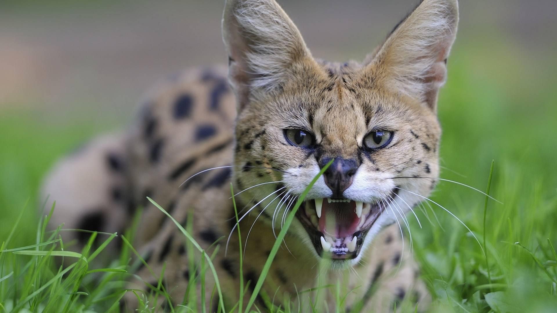 Кошка саванна – описание и особенности породы, отличие от сервала и основные черты характера