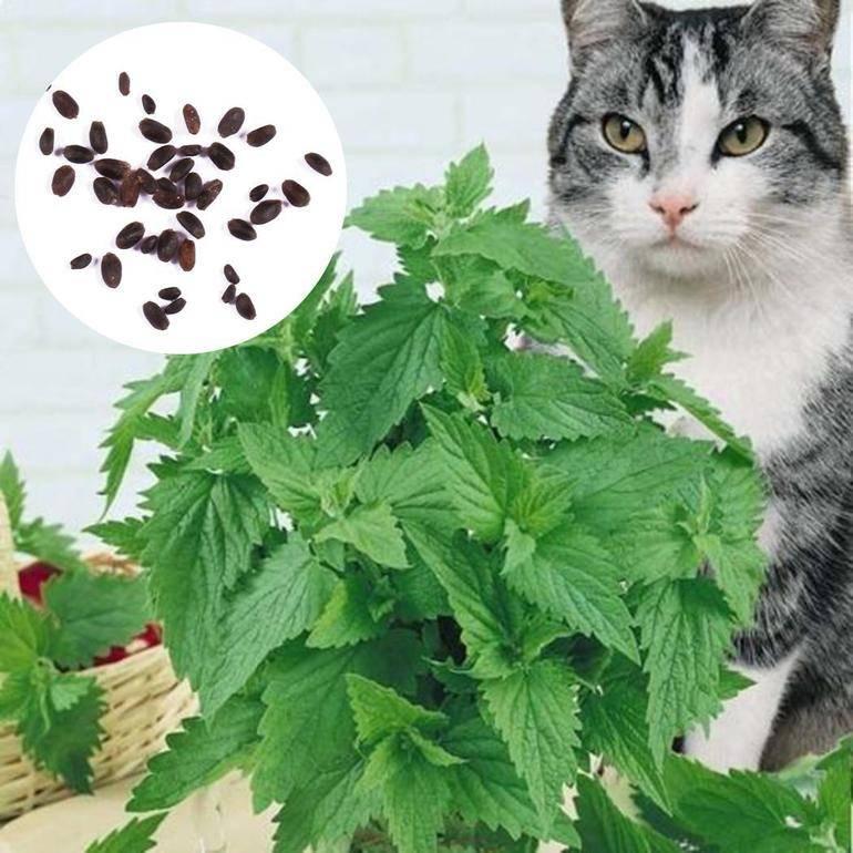 Кошачья мята для кошек- есть ли альтернатива?