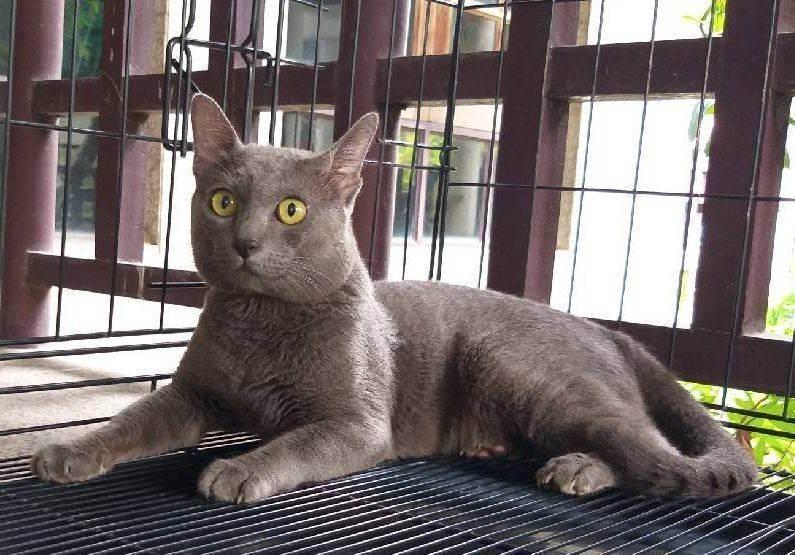 Корат (кошка)