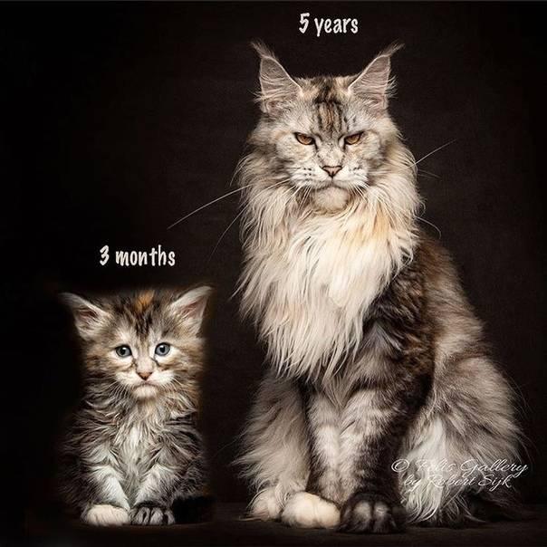 Как отличить обычного котенка от мейн куна