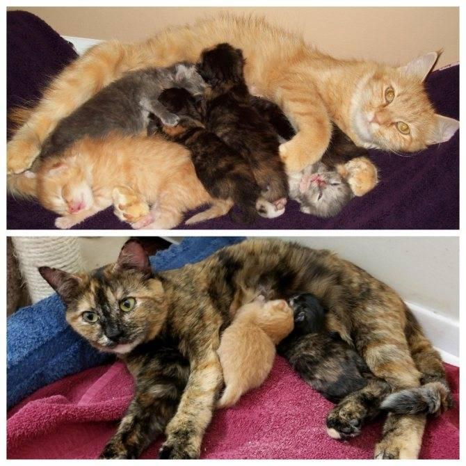 Сколько по времени рожает кошка | в первый раз, как долго проходят роды