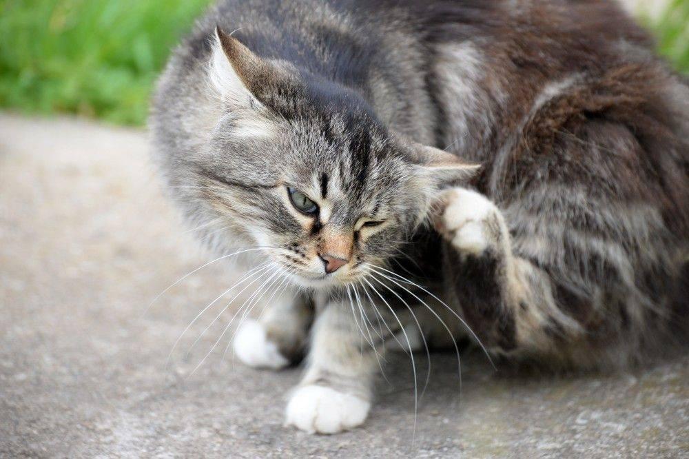 Кошка трясет головой (тремор головы) - симптомы, лечение, препараты, причины появления   наши лучшие друзья