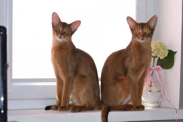 Абиссинская кошка: плюсы, минусы и особенности породы | плюсы и минусы