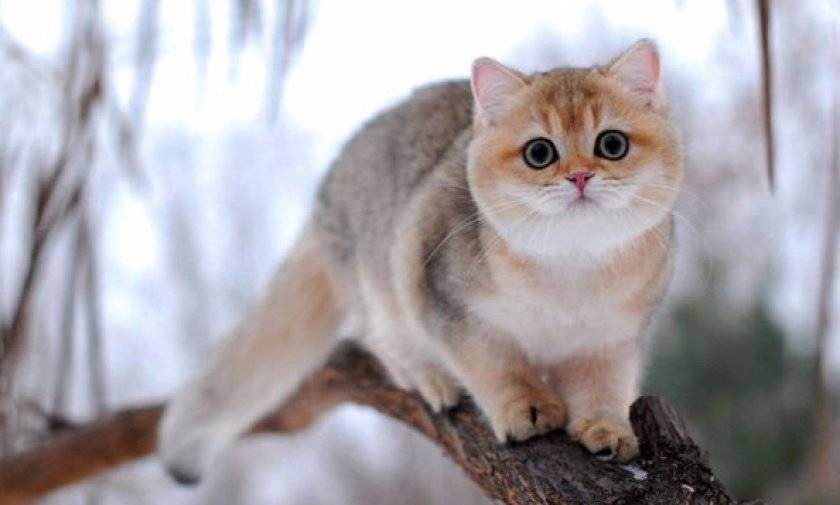 Британская длинношерстная кошка: характеристика породы, окрасы и стандарты породы (140 фото)