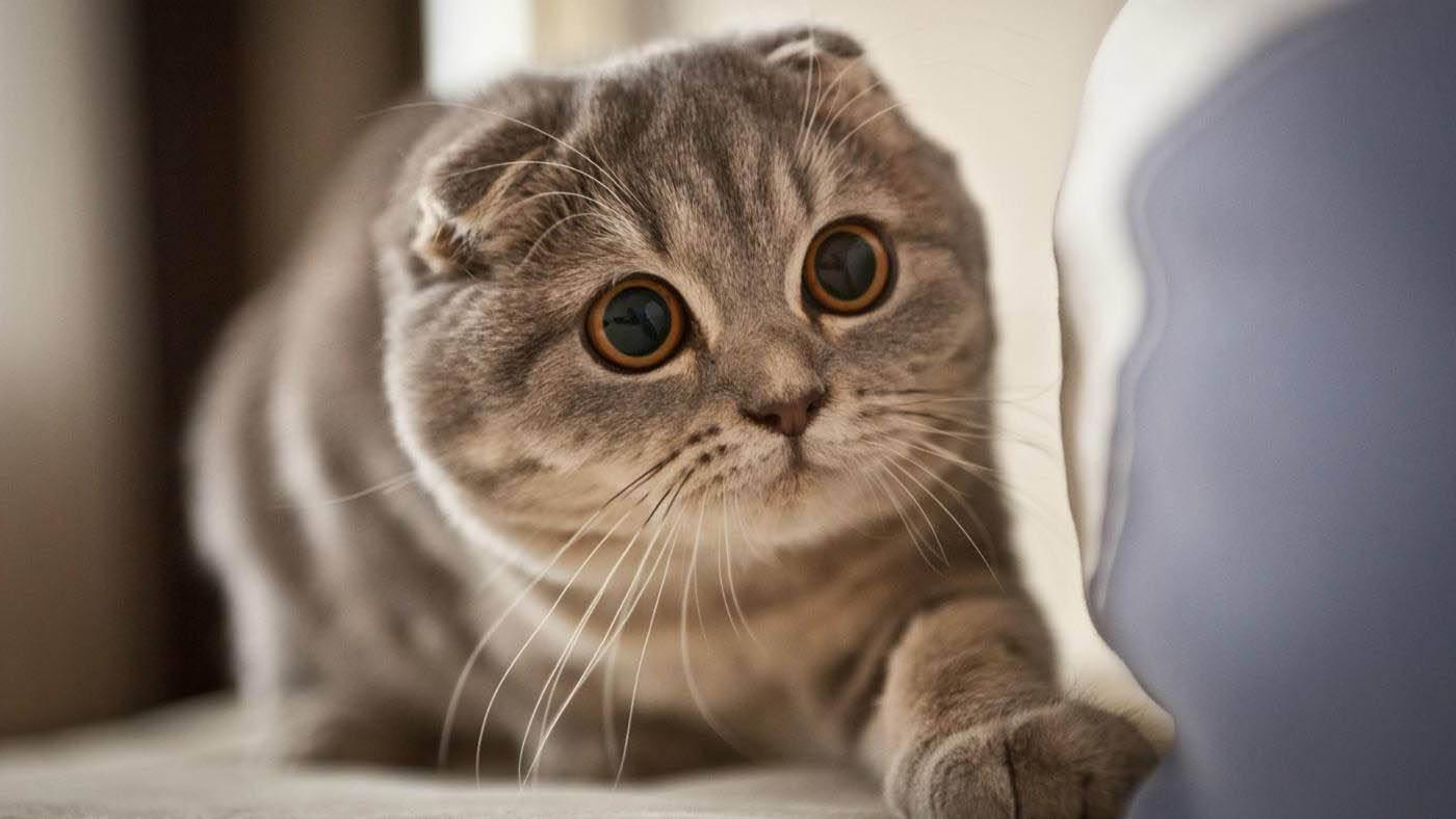 Правильная вязка шотландской вислоухой кошки: советы ветеринаров