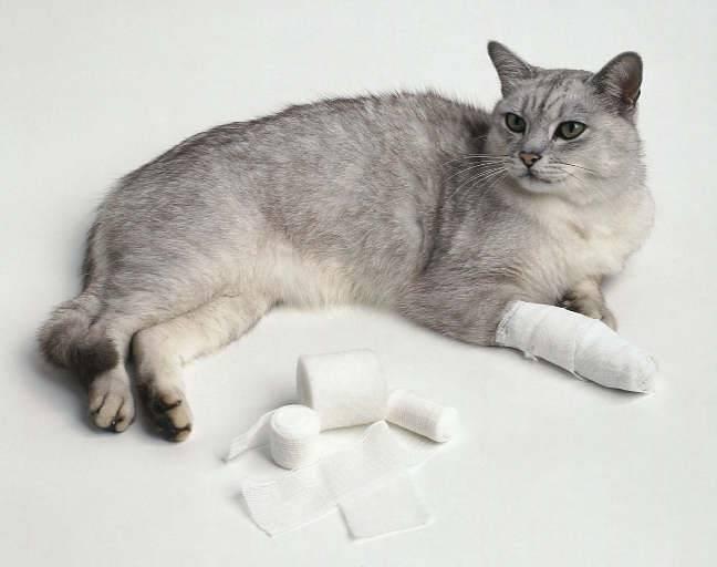 Симптомы, фото проявлений и лечение кожных заболеваний у кошек, вызванных грибковой или бактериальной инфекцией