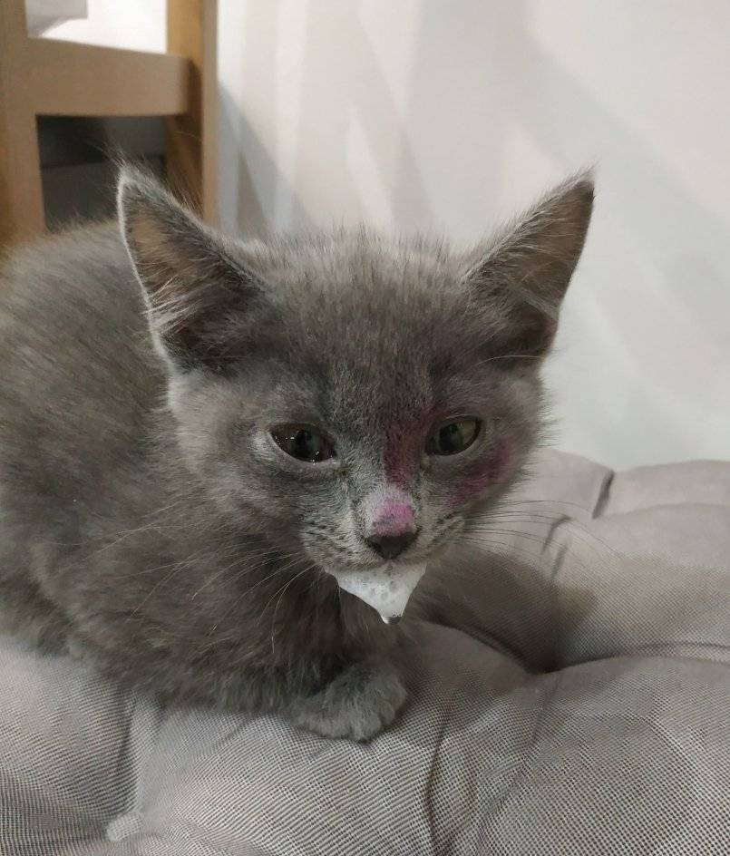 Чумка у кошек - первые признаки, проявление и формы заболевания, медикаментозная терапия и профилактика