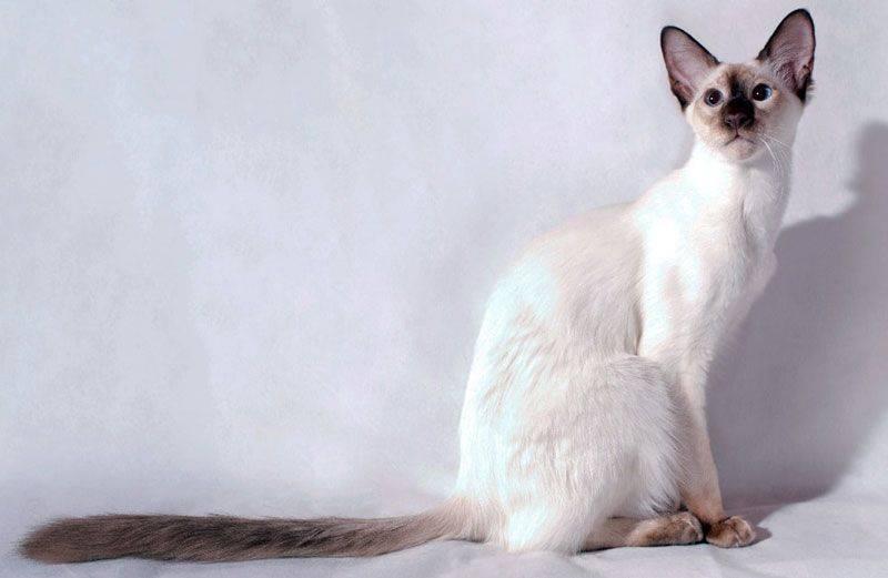 Балинезийская кошка (балинез): фото, характер, отзывы
