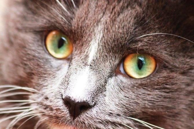 Когда меняют цвет глаз котят?