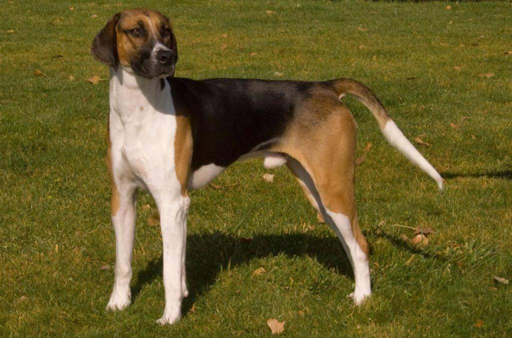 Английский фоксхаунд — фото, описание породы собак, особенности