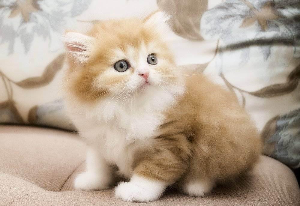 Описание шотландской прямоухой кошки по стандарту породы: внешность с фото и характер скоттиш-страйта, особенности ухода