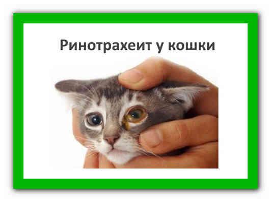 Ринотрахеит у кошек: симптомы и лечение в домашних условиях, причины заболевания