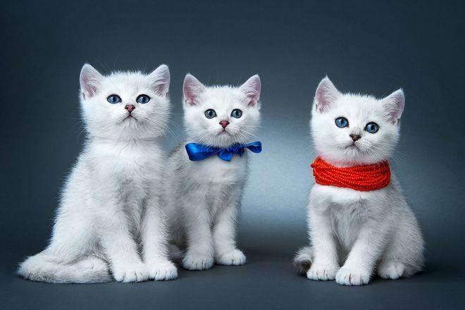 У британской кошки слезятся глаза – 4 основных причины проблемы