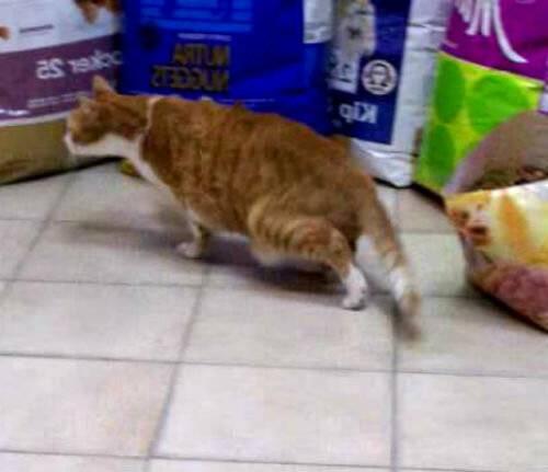Кошка хромает на задние лапы