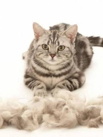 Если зимой и летом кошка очень сильно линяет: как помочь домашнему любимцу?