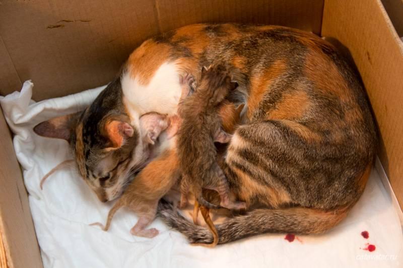 Может ли родиться только один котенок у кошки: с каким интервалом могут родиться
