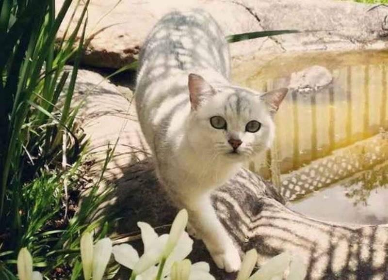 Кошки породы бурмилла — внешний вид, характер и особенности ухода
