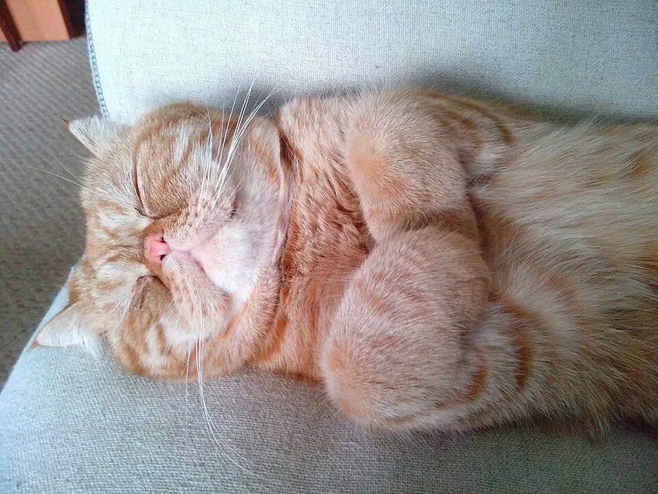Почему храпят коты шотландцы. кот храпит во сне: причины и что делать