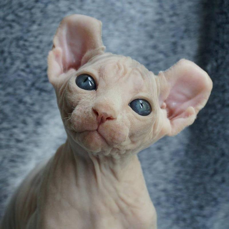 Эльф – лысая кошка с загнутыми ушами