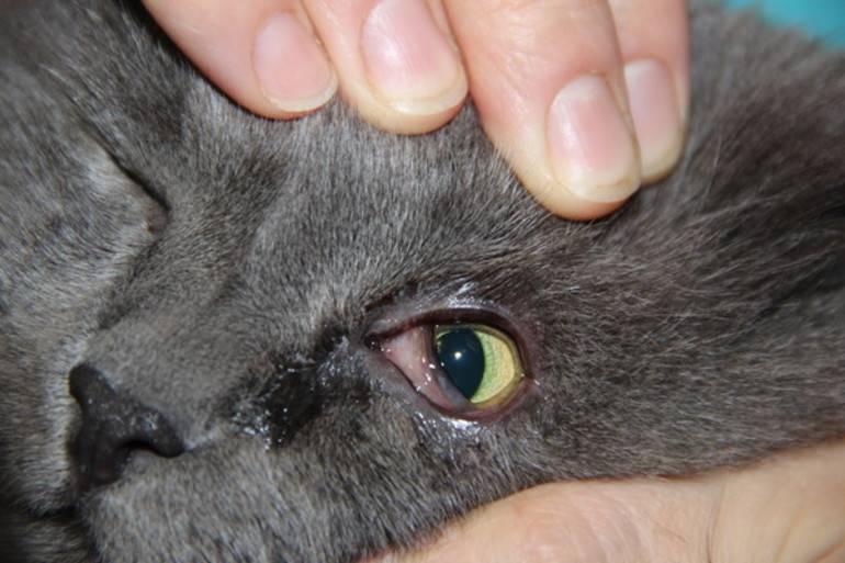 Почему у кошки гноится глаз: что делать и чем лечить в домашних условиях