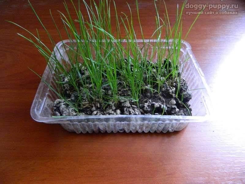 Как посадить траву для кошек? 2 способа выращивания в домашних условиях