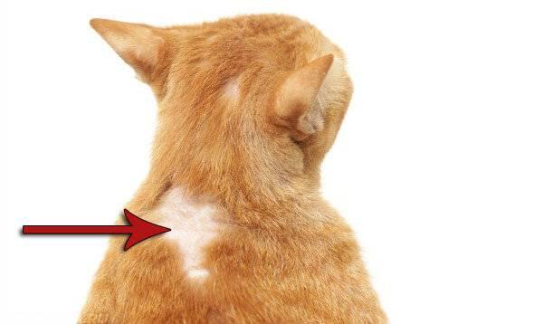 На британских кошек есть аллергия на