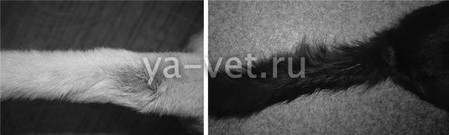 Почему у кота жирная шерсть и коричневые пятна на хвосте