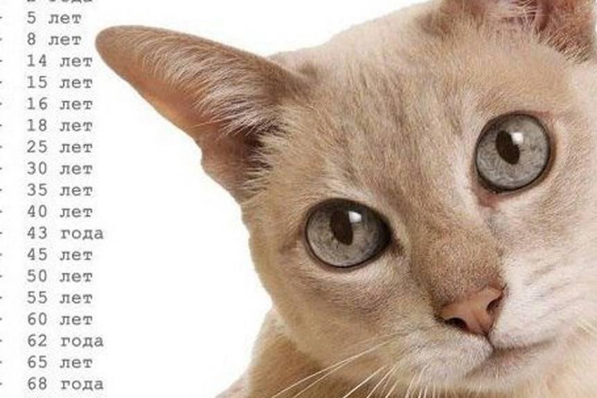 Возраст кошек и котят по человеческим меркам (таблица и калькулятор)