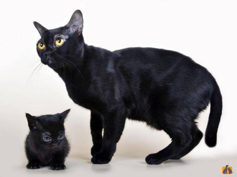 Бомбейская кошка (бомбей): фото, описание, отзывы, цена
