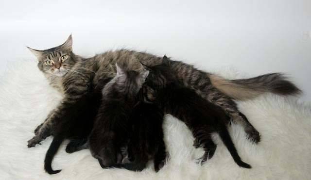 Профилактика послеродовой эклампсии у собак - кошки и собаки